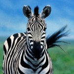 Profile picture of zebra