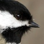 Profile picture of chickadee